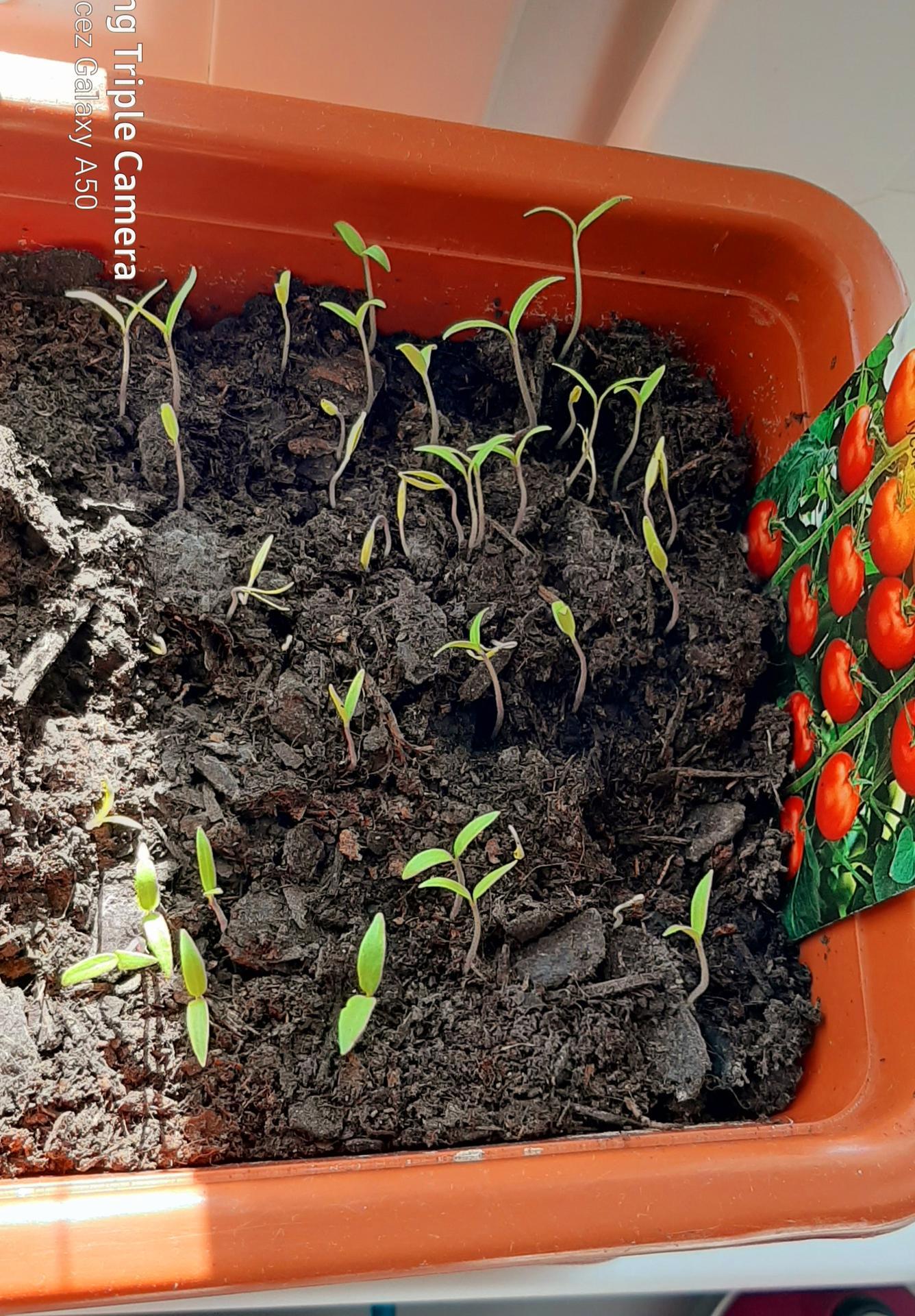 🏠🌞🌺❤🌷 Zahrada a jej dalsi rok...2020 🌱🐞🐛🦋🍓🥕🍅🌺❤ - Uz aj paradajky vykukli...