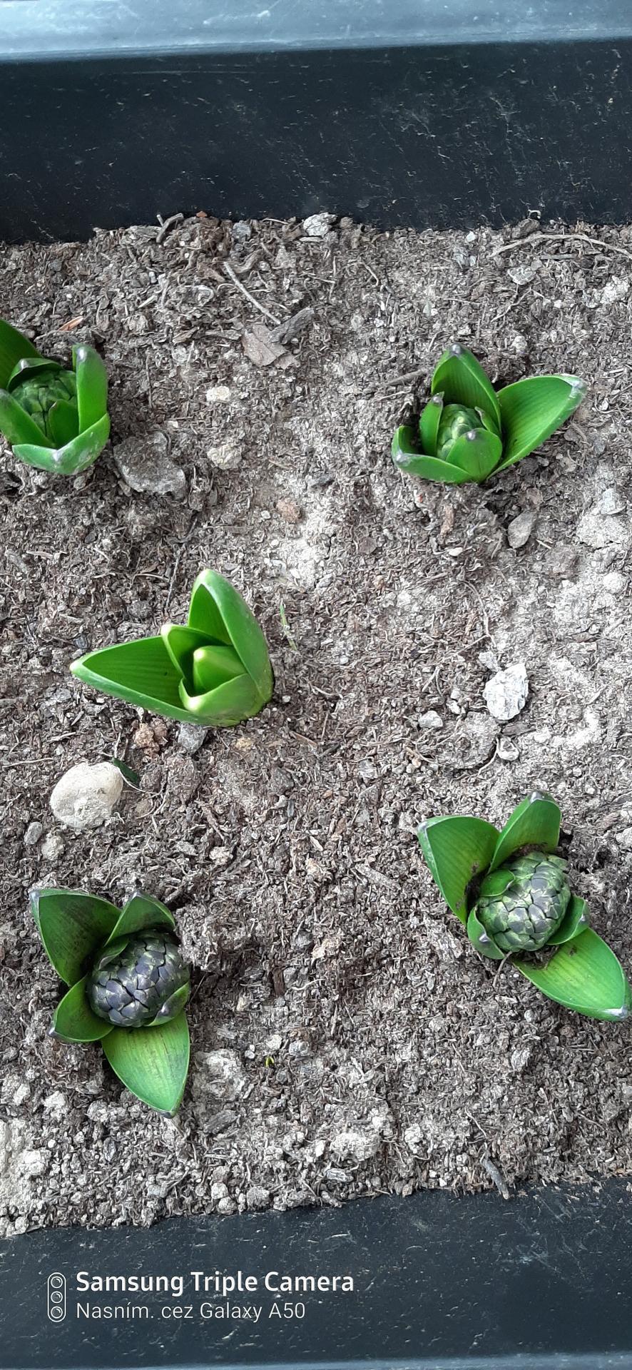 🏠🌞🌺❤🌷 Zahrada a jej dalsi rok...2020 🌱🐞🐛🦋🍓🥕🍅🌺❤ - Hyacinty v kvetinacoch.