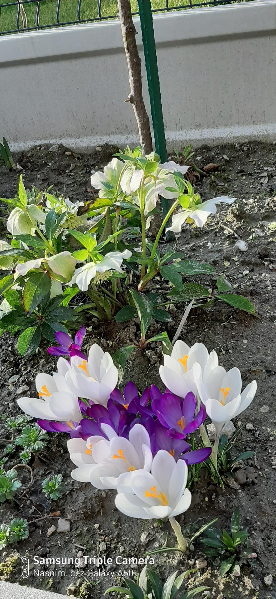 🏠🌞🌺❤🌷 Zahrada a jej dalsi rok...2020 🌱🐞🐛🦋🍓🥕🍅🌺❤ - Slniecko ich otvorilo 🌸