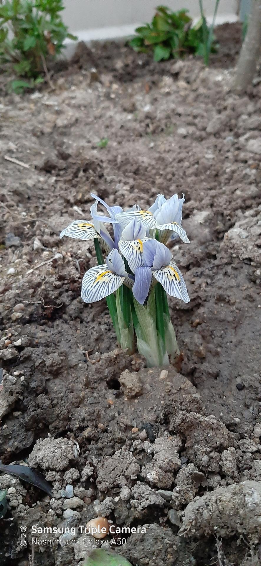 🏠🌞🌺❤🌷 Zahrada a jej dalsi rok...2020 🌱🐞🐛🦋🍓🥕🍅🌺❤ - Iris
