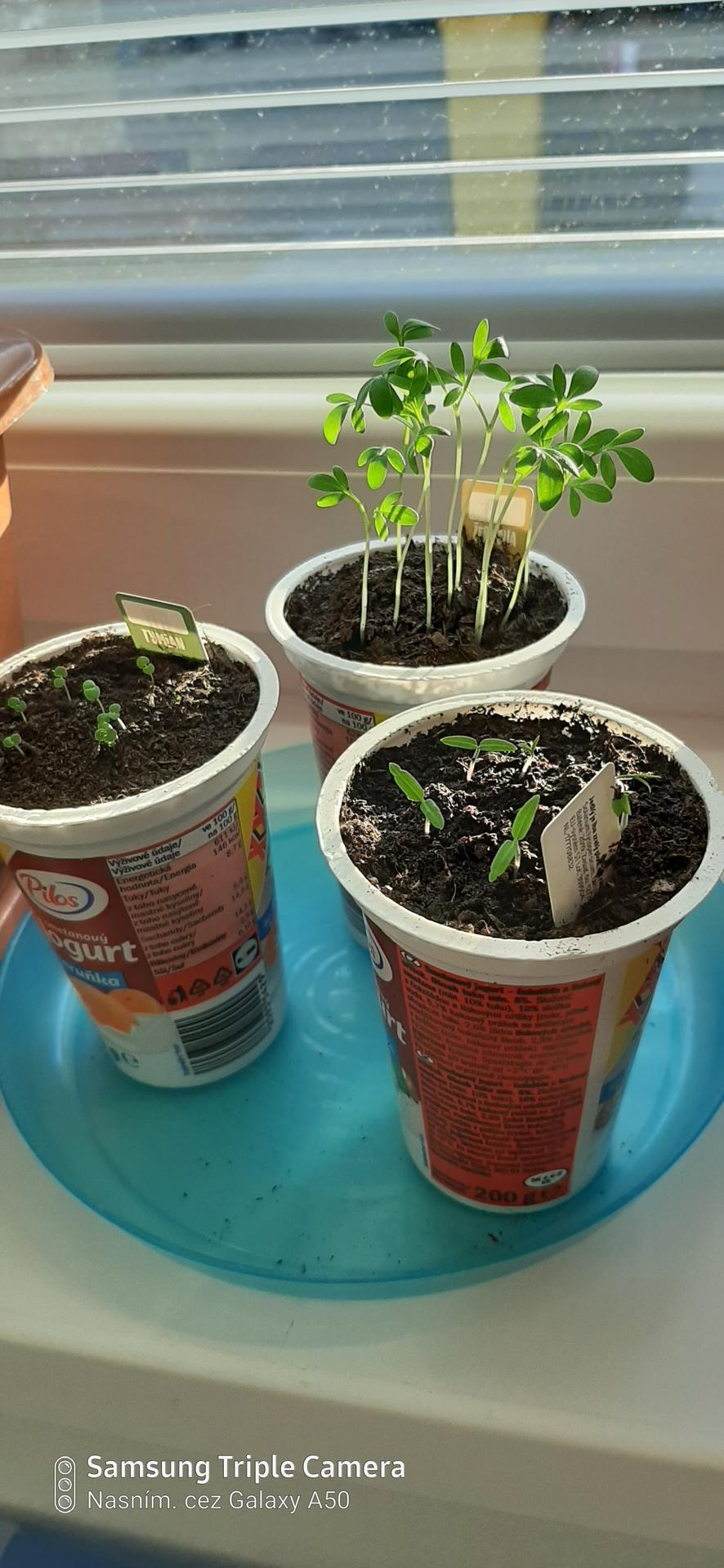 🏠🌞🌺❤🌷 Zahrada a jej dalsi rok...2020 🌱🐞🐛🦋🍓🥕🍅🌺❤ - Decka si posadili semienka z Kauflandu. Paradajky,tymian,zerucha.