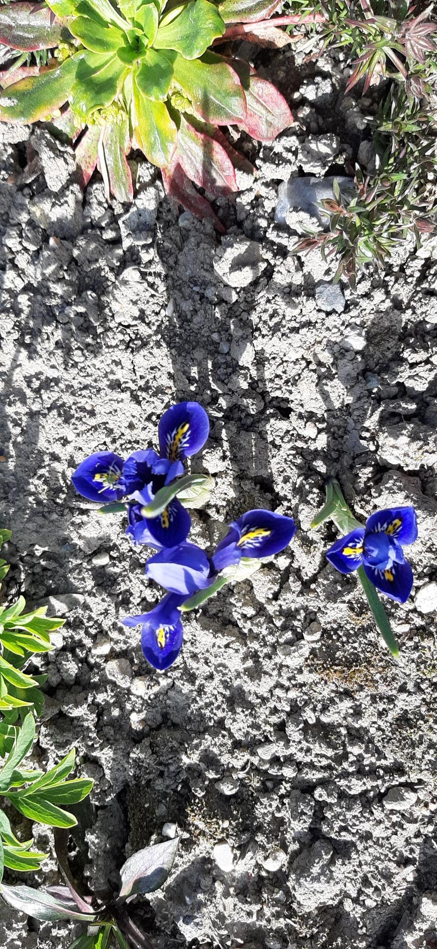🏠🌞🌺❤🌷 Zahrada a jej dalsi rok...2020 🌱🐞🐛🦋🍓🥕🍅🌺❤ - Iris.