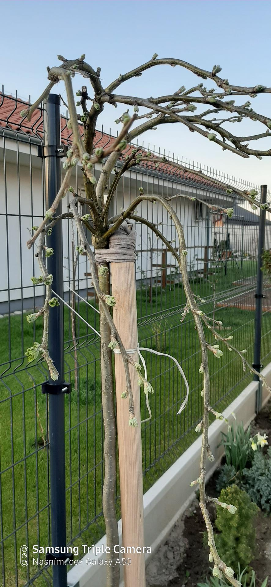 🏠🌞🌺❤🌷 Zahrada a jej dalsi rok...2020 🌱🐞🐛🦋🍓🥕🍅🌺❤ - Karigana prezila presadenie na jesen...