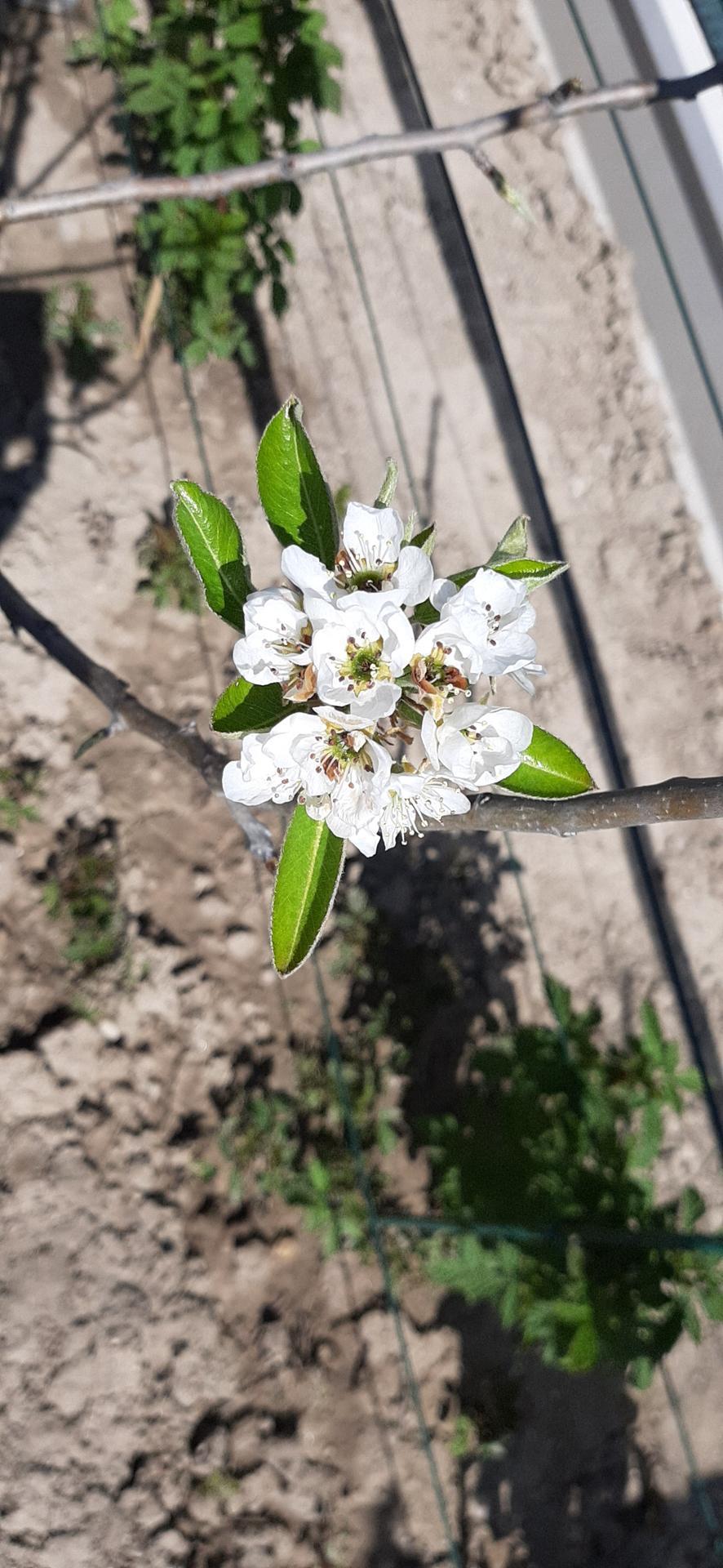 🏠🌞🌺❤🌷 Zahrada a jej dalsi rok...2020 🌱🐞🐛🦋🍓🥕🍅🌺❤ - Hruska ma svoje prve prve kvety,smrdia ako....ble