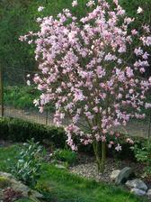 letošní magnolie vydržela dlouho