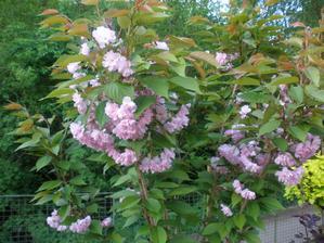 sakura poprvé tolik květů,loni měla 3ks