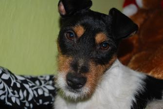náš Jack,už ho máme 5let,ale tvrdohlavějšího psa jsem teda nezažila.je jak beran.