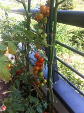 rajčátkům se daří!!
