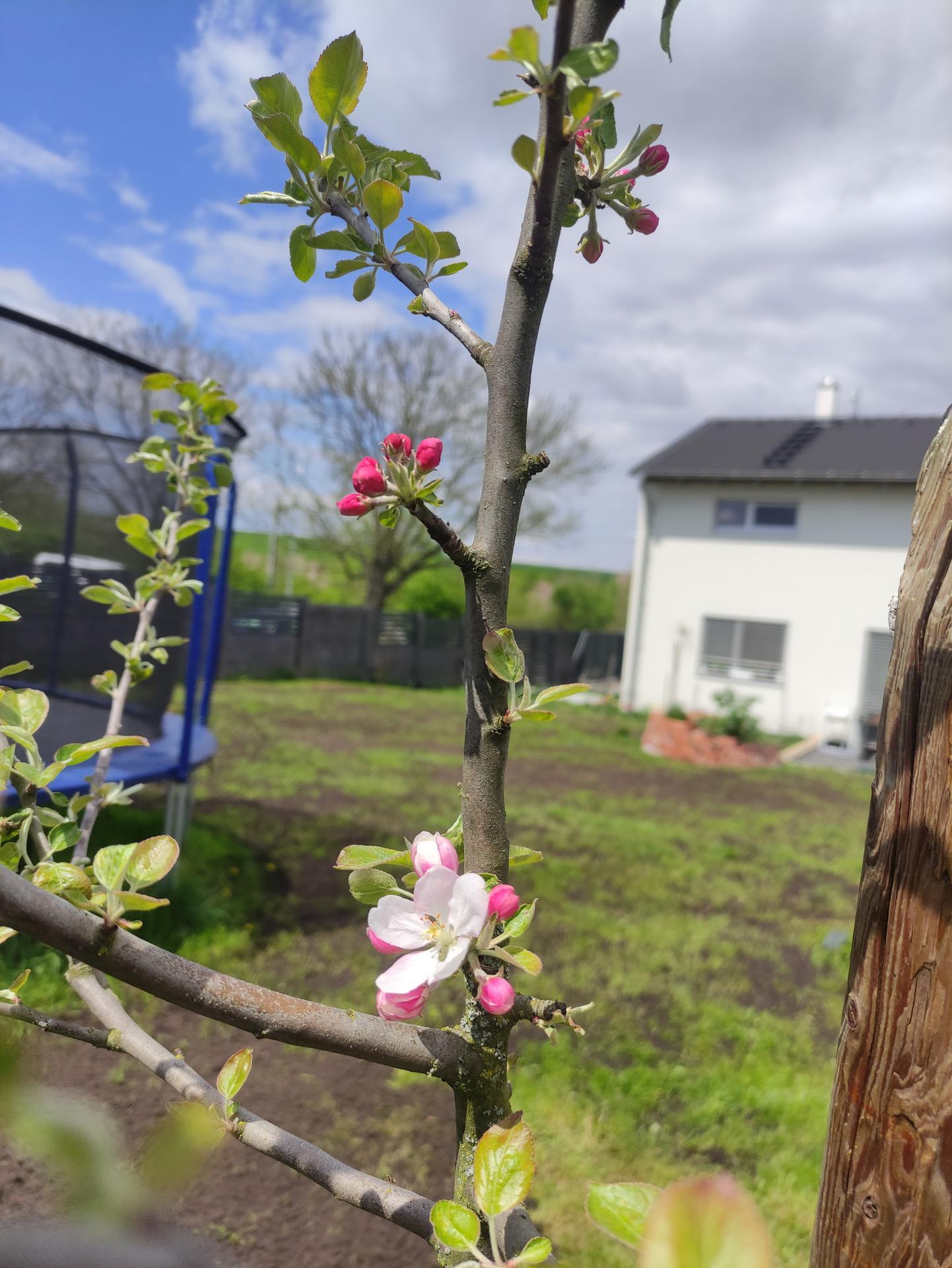 Malý dnes přispěl svou troškou do mlýna (spal 2 hodiny) a můžu říct, že máme HOTOVO. Teď se jen modlit k Bohu trávy, aby tráva vyrostla. 😅 A jako bonus kvete jablůňka, vloni dva květy, dvě pidijablicka, letos je květů 7. 🤗 - Obrázek č. 2