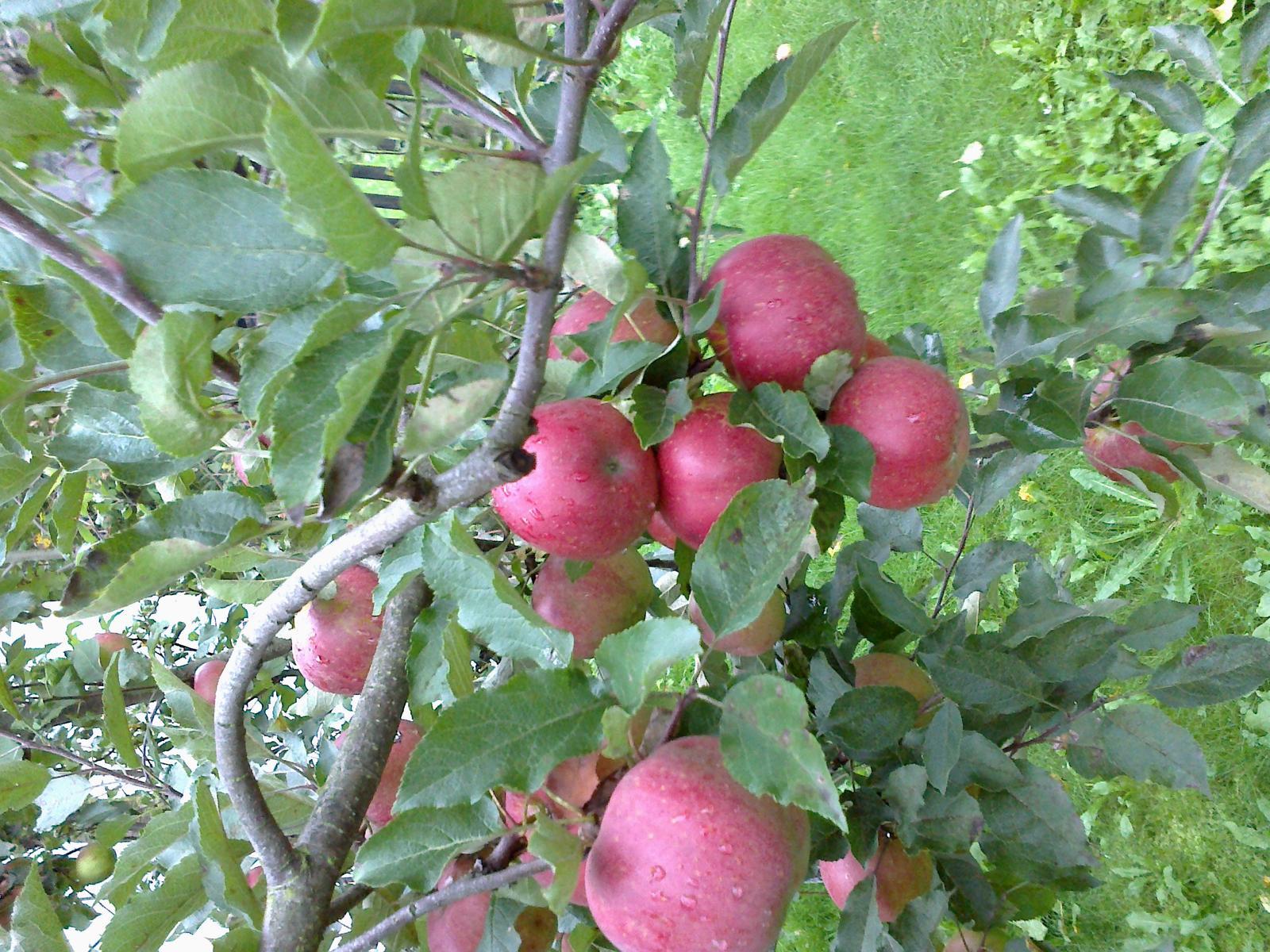 Kvietky ,hrušky , jablká... - Obrázok č. 3