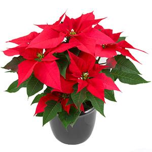 Naše zimní pohádka.... - Malé vánoční hězdy jako dekorace na stole