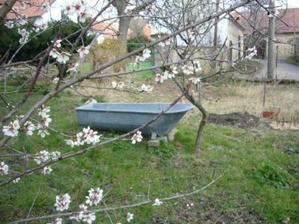 Mandlový strom kvete