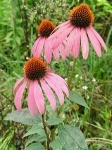 Echinacea purpurová rastlinky aj semená - Obrázok č. 1