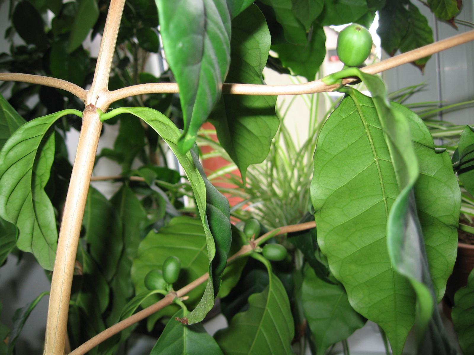 Plodící kávovník - a pak že se dá pěstovat jen v Brazílii - Obrázek č. 3
