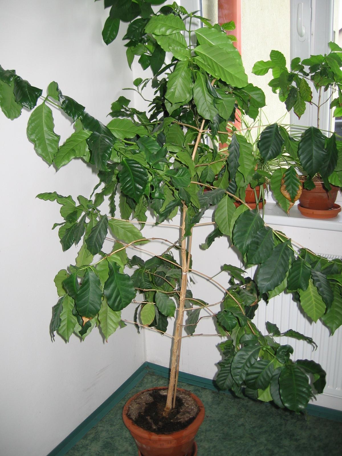 Plodící kávovník - a pak že se dá pěstovat jen v Brazílii - kávovník vysoký přes metr a půl vypěstovaný ze semínka.