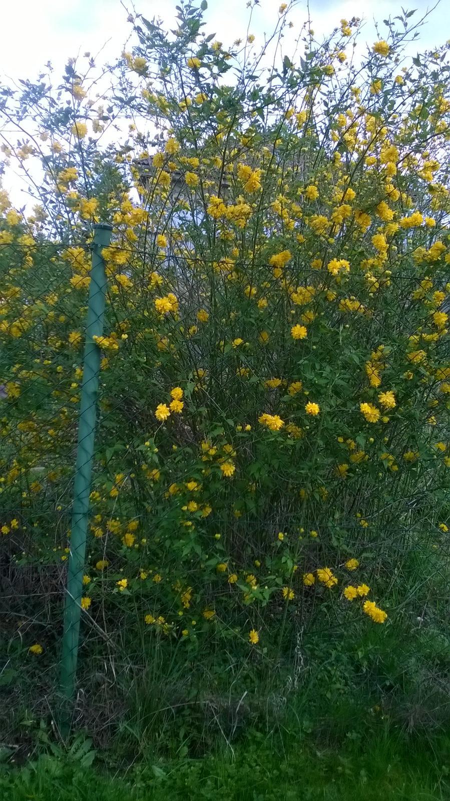 Mé nekonečné inspirace pro zahrádku - zákula, krásně kvete brzy zjara.