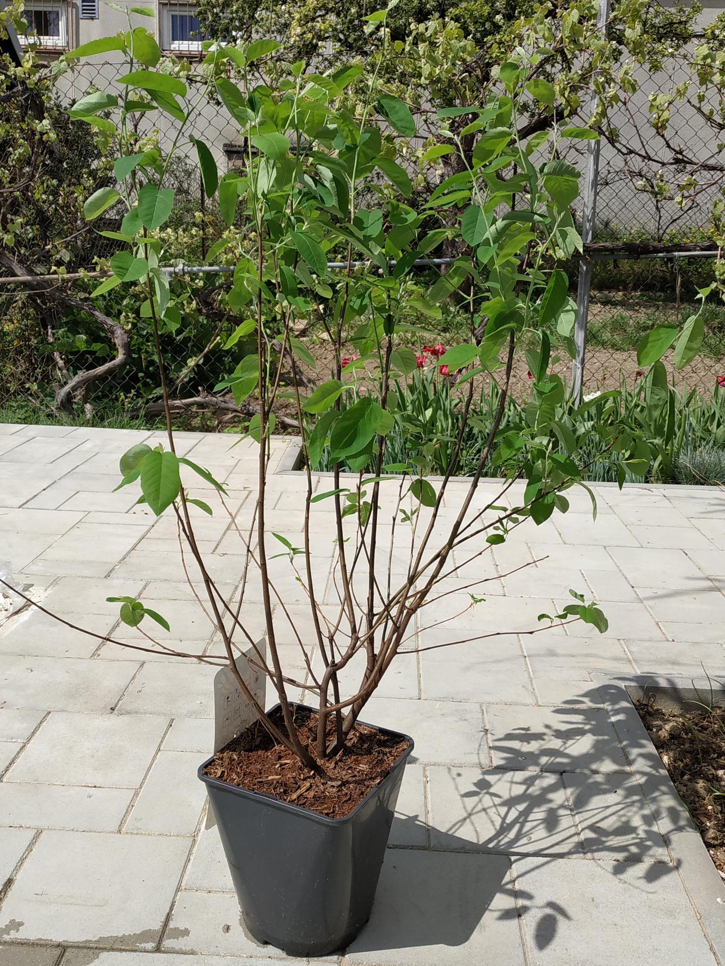 Včera jsem v Bauhausu objevila moc pěkně rostlé muchovníky. V zahradnictvích v okolí, kde jsem byla minulý týden měli jen takové chudáčky a tady najednou fakt pěkné keře. Bohužel byly plné mšic, takže jsem ho nechala být, ale pak má touha zvítězila a už je odmšicovaný u nás na zahradě 😉 - Obrázek č. 1