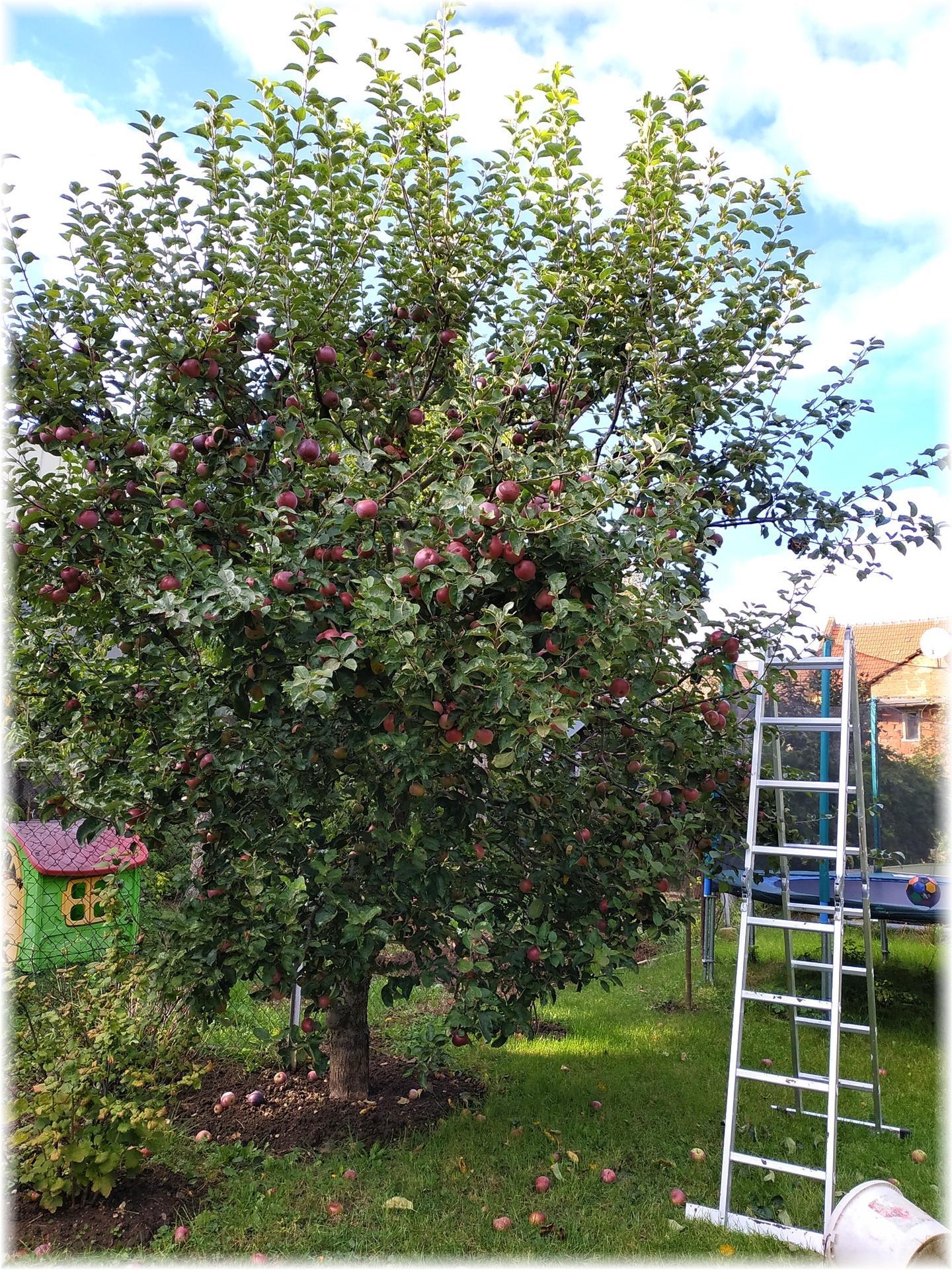 Dnes odpoledne bylo krásně, tak jsme ho strávili na zahradě. Část úrody od střechou, ale kam dáme zbytek netuším... Jablečná buchta na stole, jablečný mls a mošt v lednici, jablečná sezóna je tu :) A trvalky mi dělají pořád větší radost... - Obrázek č. 1
