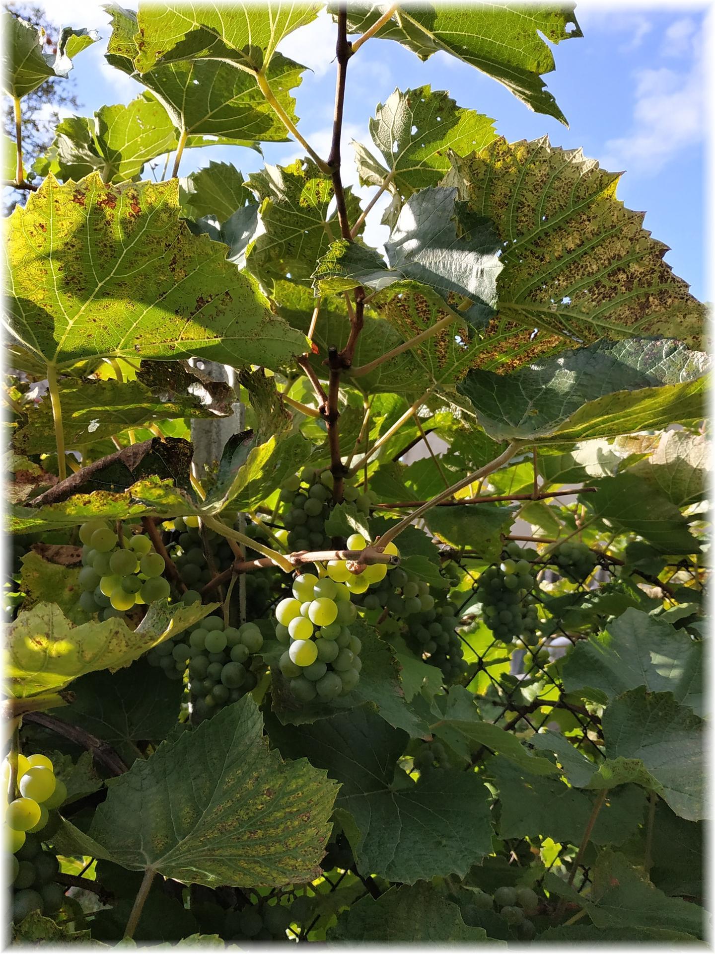 Dnes odpoledne bylo krásně, tak jsme ho strávili na zahradě. Část úrody od střechou, ale kam dáme zbytek netuším... Jablečná buchta na stole, jablečný mls a mošt v lednici, jablečná sezóna je tu :) A trvalky mi dělají pořád větší radost... - Obrázek č. 3