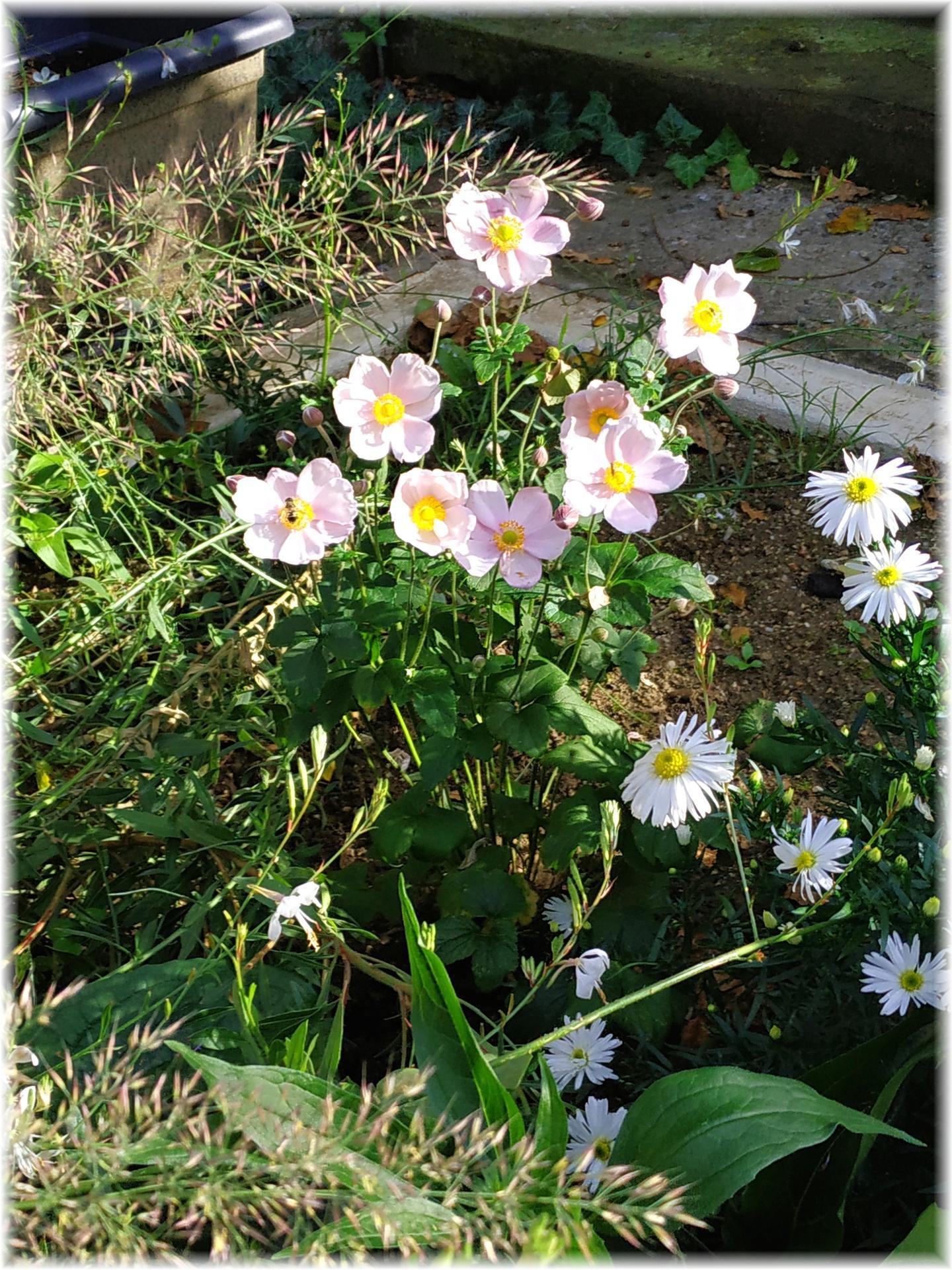 Dnes odpoledne bylo krásně, tak jsme ho strávili na zahradě. Část úrody od střechou, ale kam dáme zbytek netuším... Jablečná buchta na stole, jablečný mls a mošt v lednici, jablečná sezóna je tu :) A trvalky mi dělají pořád větší radost... - Obrázek č. 5