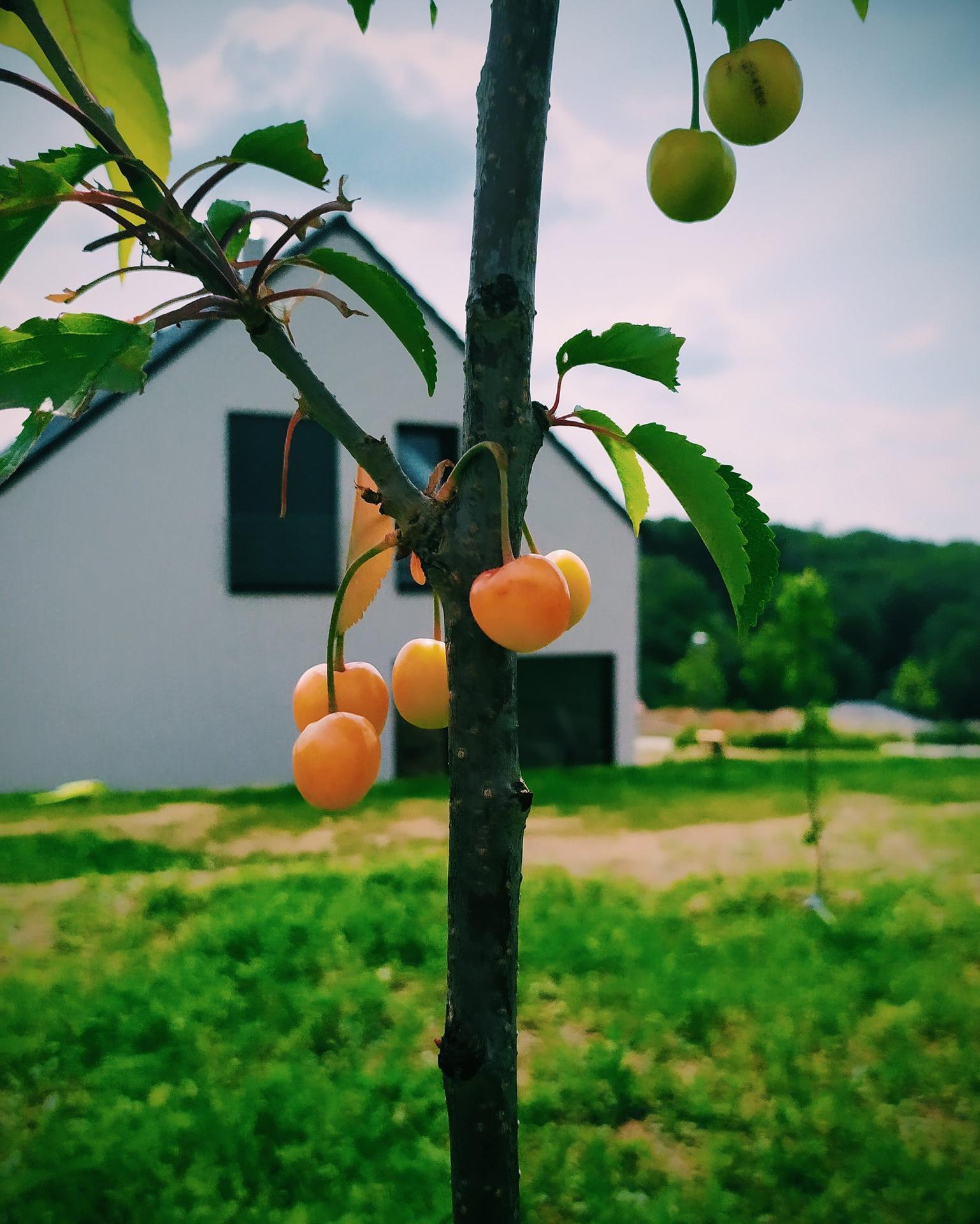 Náš domov ve svahu - Naše první třešně