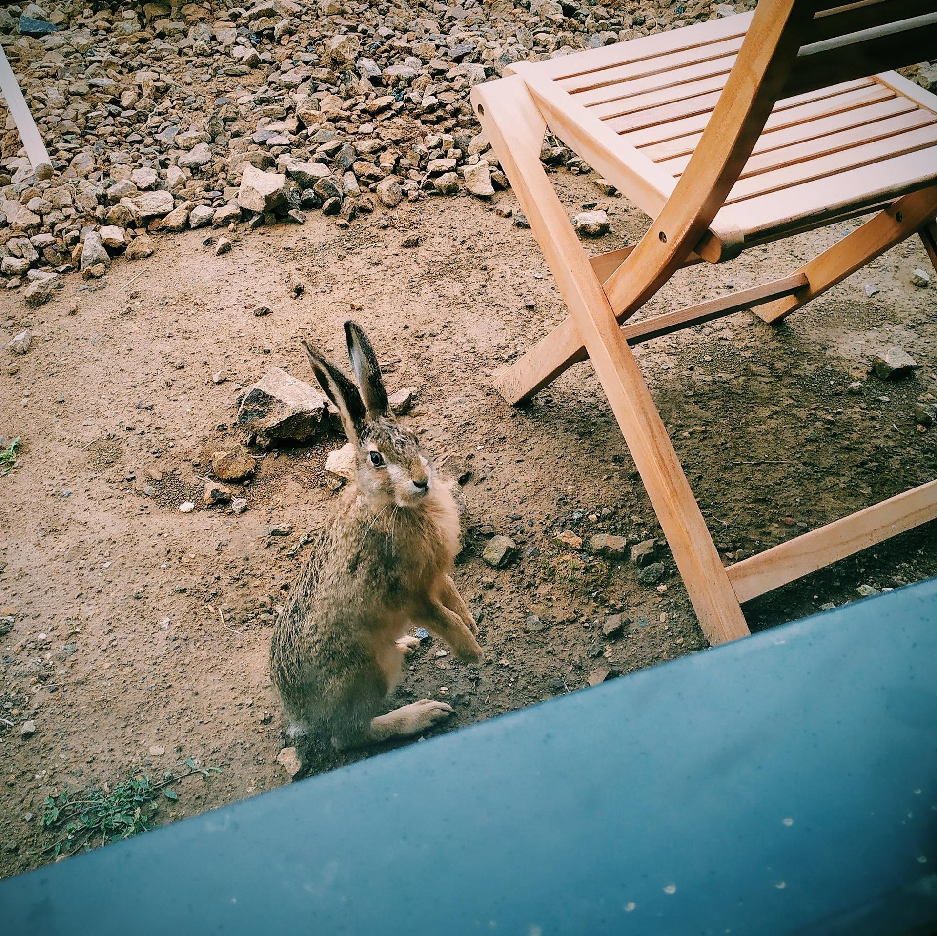 Náš domov ve svahu - Zajíc z lesa nás chodí téměř denně navštěvovat na zahradu