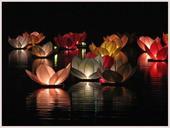Lampiony (lekníny) na vodu  50 ks,