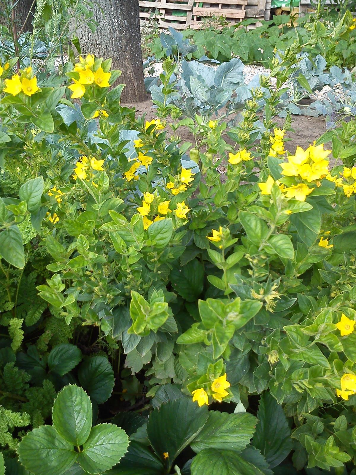 prosim neviete aky je nazov zltej kvetiny? - Obrázok č. 1