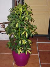 pokus druhý s pěstováním šeflery