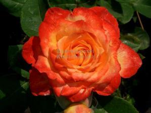 tahle barva růže zatím vede do mojí kytičky...jestli bude k sehnání...