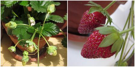 červenec 2012 - už zrají jahody