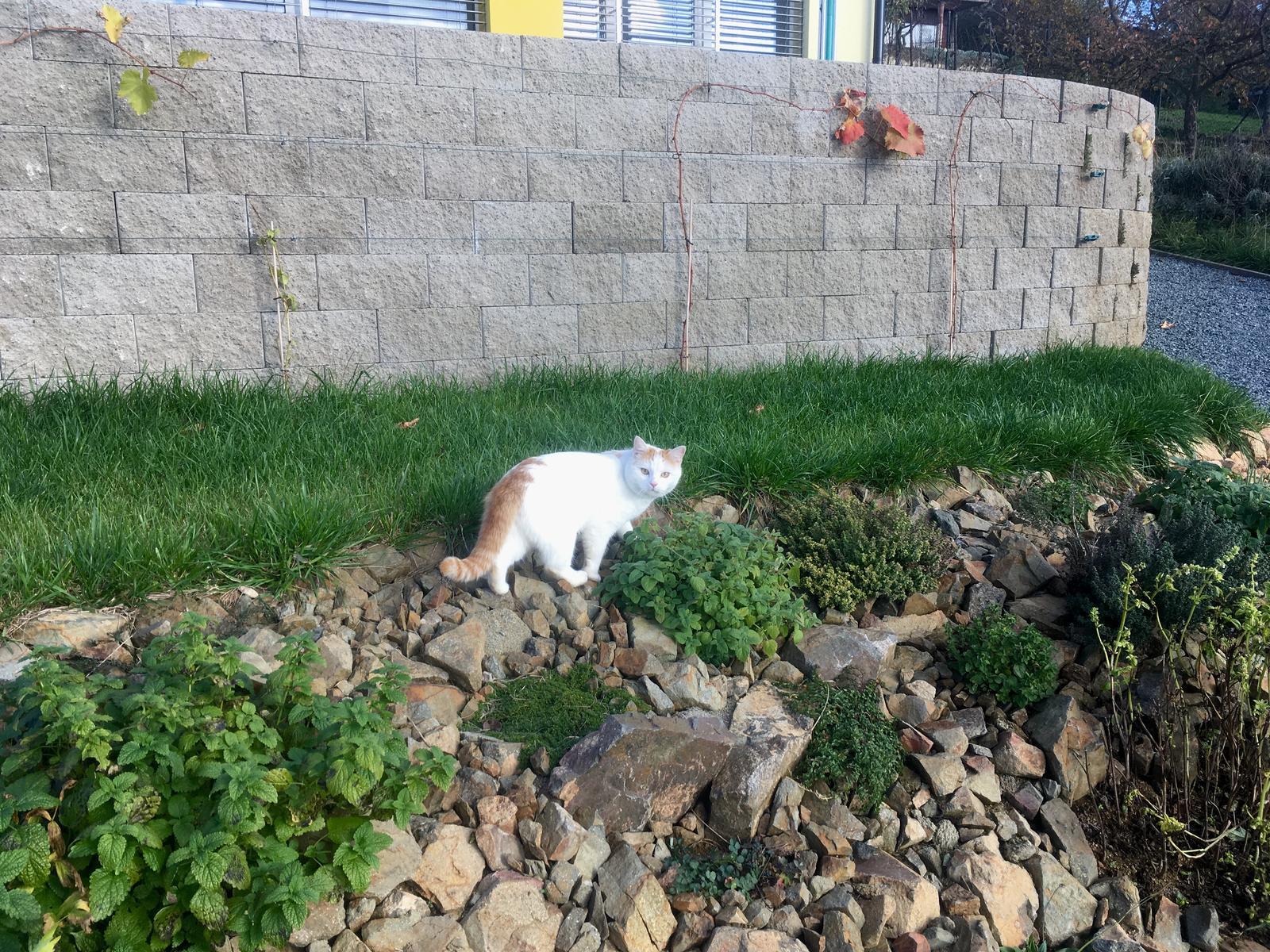 Skřítčí zahrada 2015 - 2020 - Listopad 2018 - révě opadalo listí, bazalka zasychá, kočka se ochlupacuje ... zima přichází