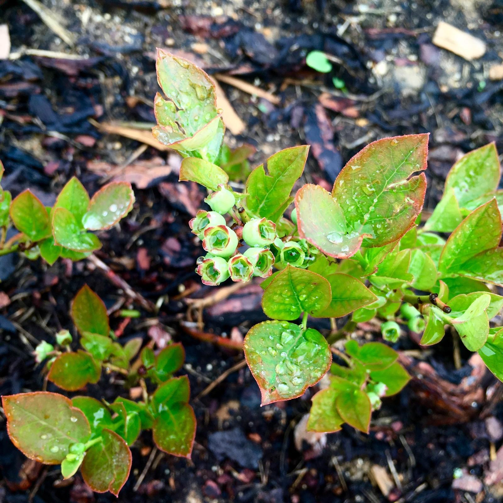 Skřítčí zahrada 2015 - 2020 - Květen 2019 - letos to vypadá, že sklidíme trochu borůvek