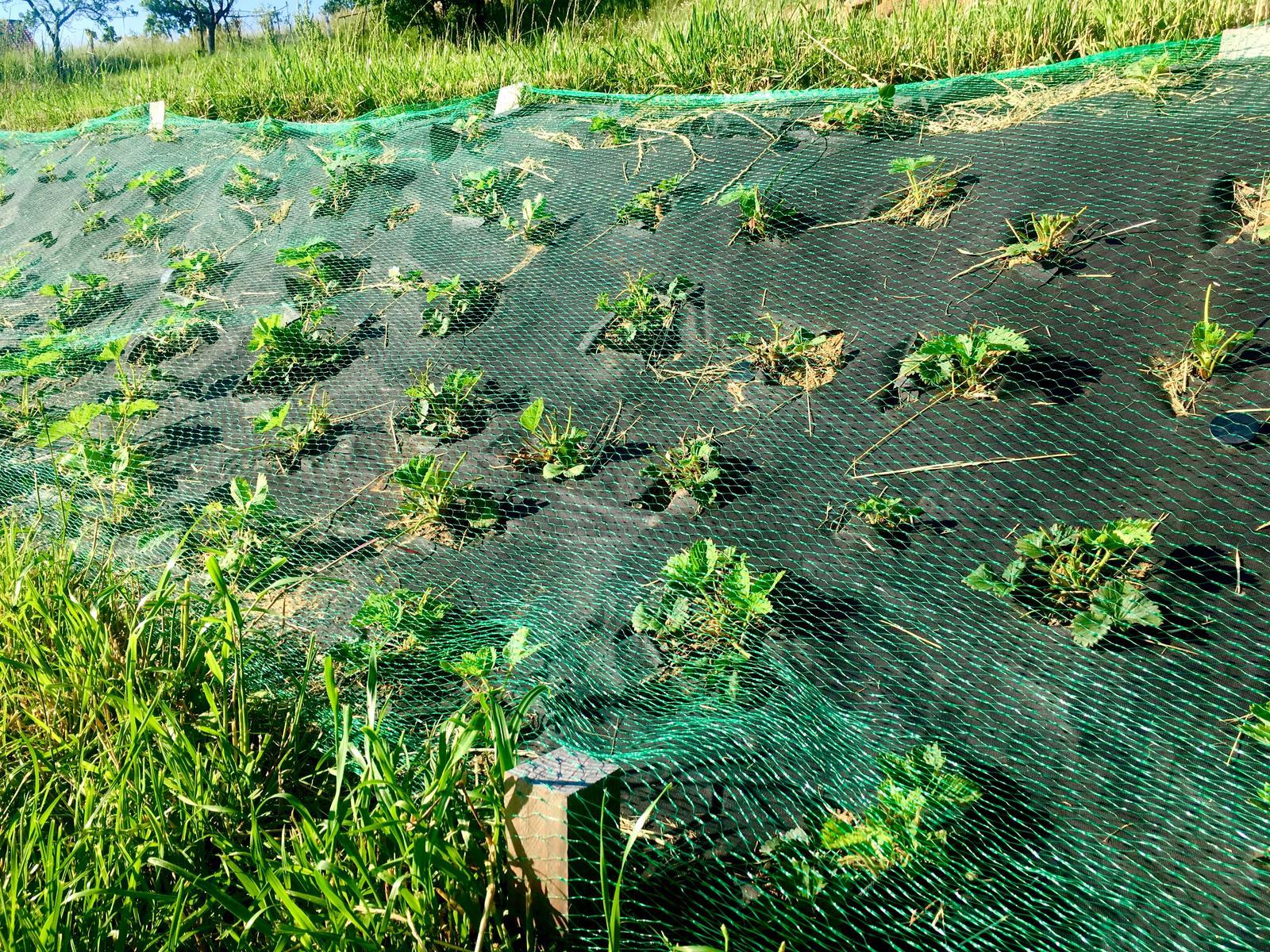 Skřítčí zahrada 2015 - 2020 - Červen 2019 - srny požíraly jahodníky a ke kořenům i navzdory ultrazvukovému plašítku, tak zkoušíme prostou plastovou síť