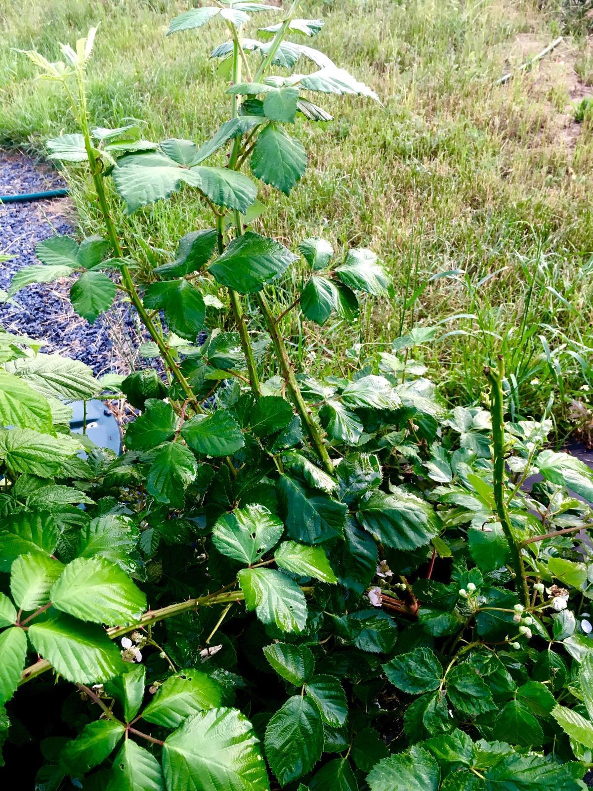 Skřítčí zahrada 2015 - 2020 - Červen 2019 - první ostružina, kterou jsem koupila, měla být beztrnná, zatím v síle a počtu trnů suverénně vítězí, ale plodu bude mít taky dost