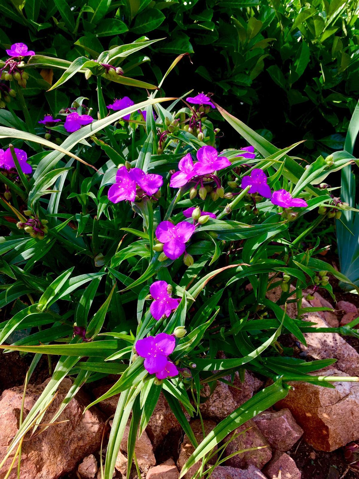 Skřítčí zahrada 2015 - 2020 - Červenec 2019 - jedna ze skalkových rostlin, které jsem dostala darem od manželovy tety, kvete usilovně a srny ji nežerou