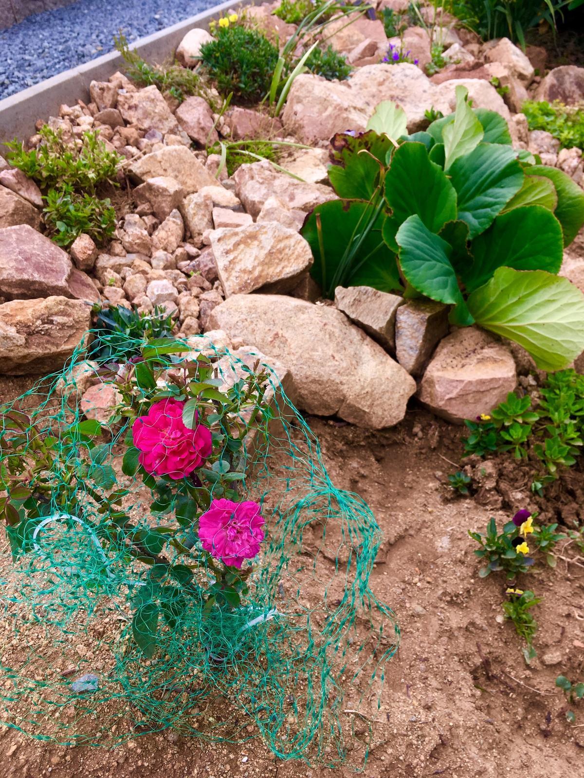 Fáze druhá ... zahrada - Červenec 2019 - damašská růže šla pod síť, než povyroste, je to s podivem, ale růže srny taky milují a požírají