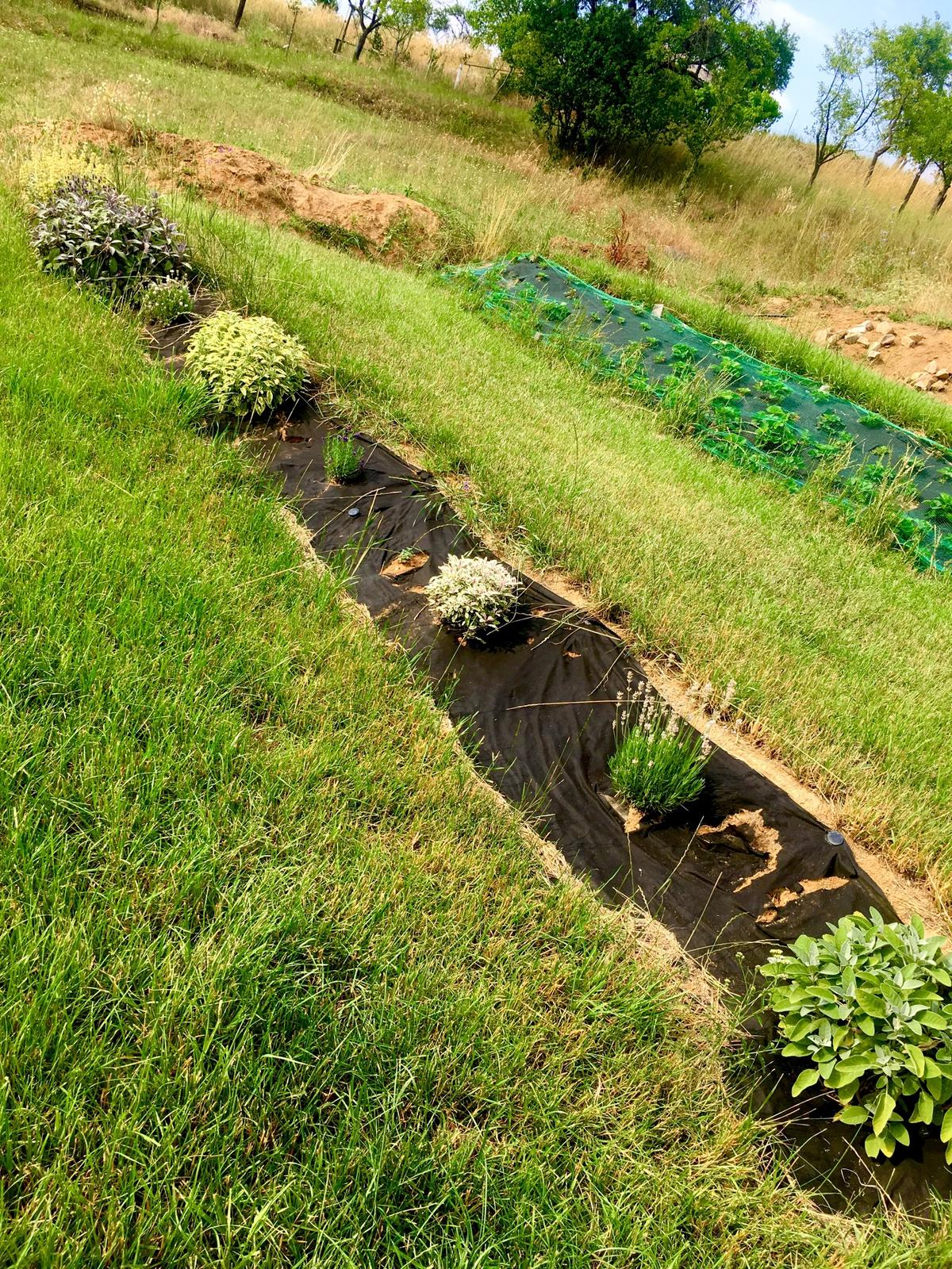 Skřítčí zahrada 2015 - 2020 - Červenec 2019 - šanta kočičí, různé levandule a šalvěje ... plán je rostliny namnožit a tuhle část svahu pokrýt (a nad a pod udělat svejly, stejně jako u bylinkové skalky)