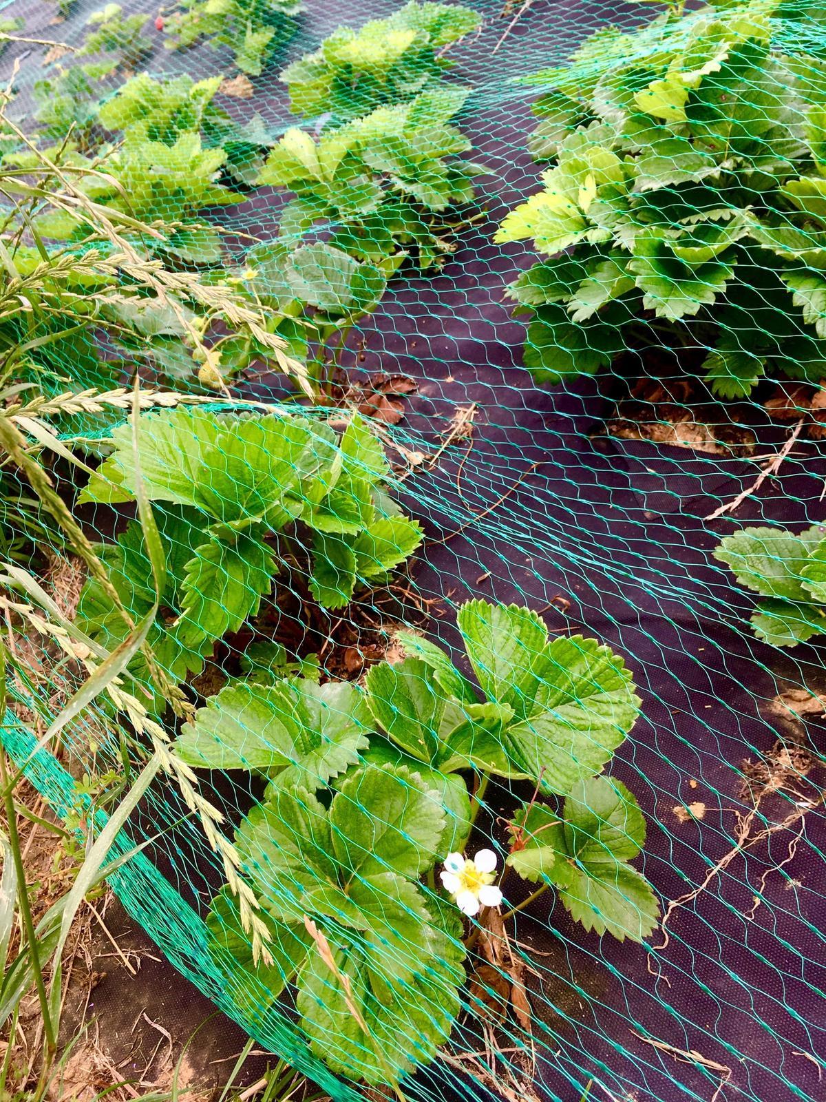 Skřítčí zahrada 2015 - 2020 - Červenec 2019 - síť proti srnám zabírá, jahodníky obrazily, některé už kvetou a dokonce i mají plody