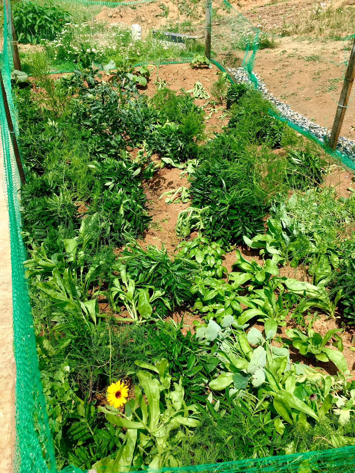 Skřítčí zahrada 2015 - 2020 - Červenec 2019 - měsíčky (má to být směs Flashback, zatím vykvetl jen jeden, obyčejně žlutý) jsem nasela moc nahusto, tak jsem je zkusila rozsadit, třeba se ty přepíchnuté chytnou