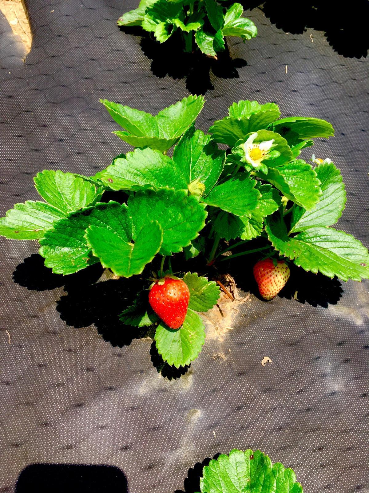 Skřítčí zahrada 2015 - 2020 - Červenec 2019 - tak nakonec ještě nějaké jahody budou