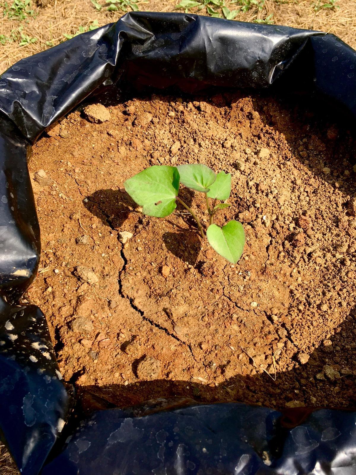 Skřítčí zahrada 2015 - 2020 - Červenec 2019 - oranžové batáty Erato ... uvidíme, jestli sklidím aspoň malý hlízy nebo nic