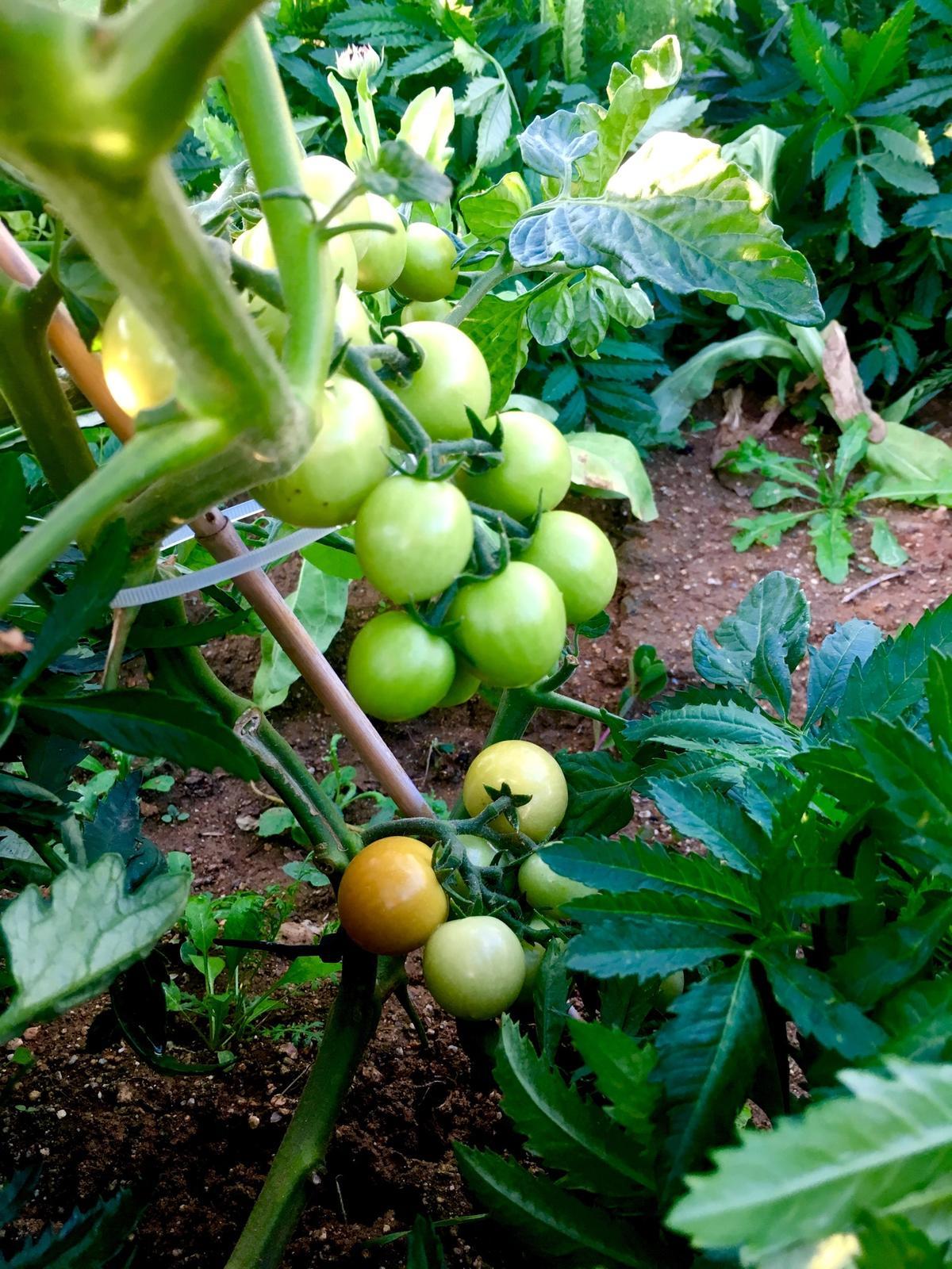 Skřítčí zahrada 2015 - 2020 - Červenec 2019 - první rajčata (koupené sazenice cherry tyčkových) konečně začínají chytat barvu