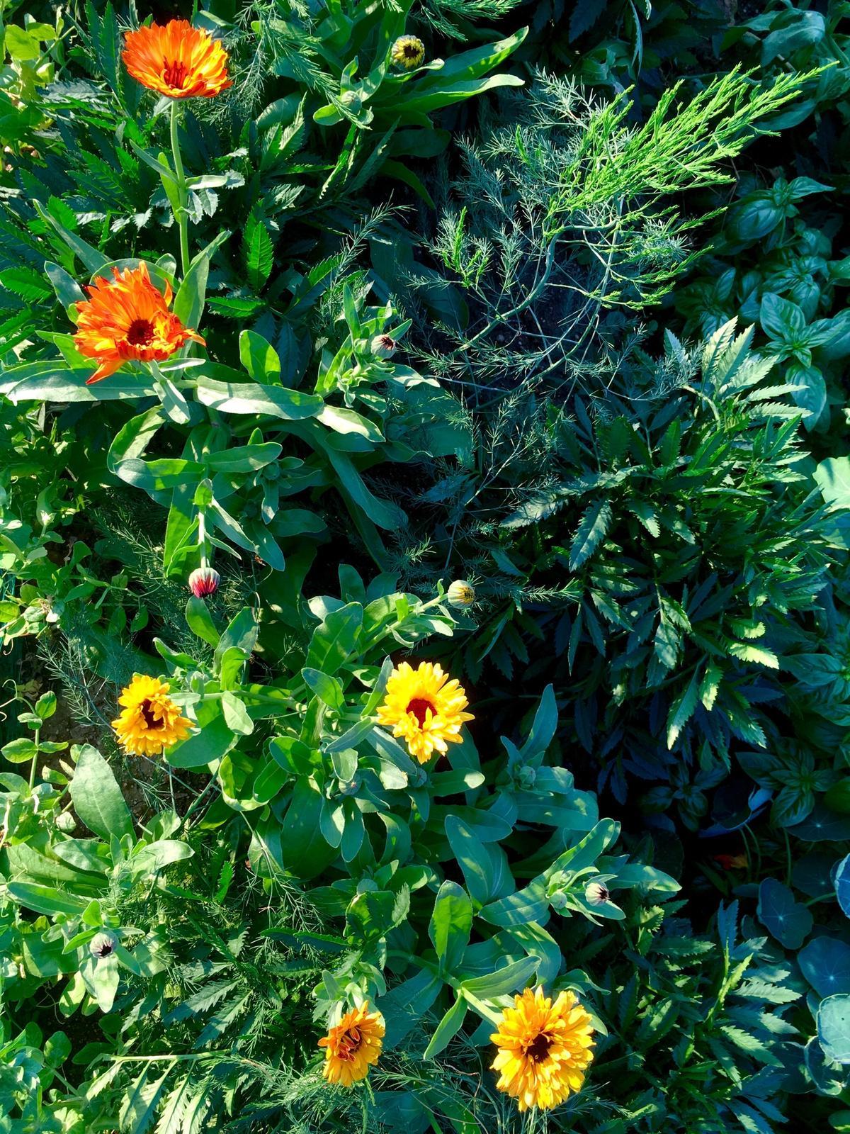 Skřítčí zahrada 2015 - 2020 - Červenec 2019 - kvetoucí měsíčky (Flashback mix) v polykulturním vyvýšeném záhonu