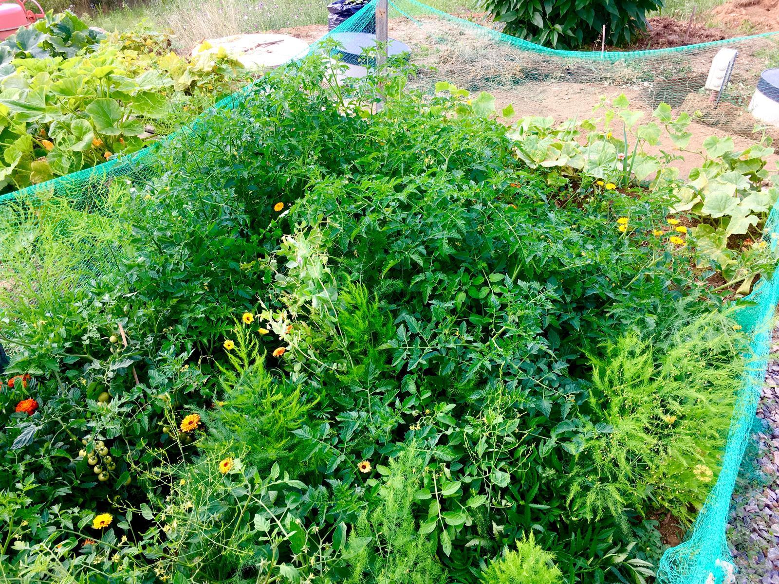 Fáze druhá ... zahrada - Srpen 2019 - z darovaných mladých rostlinek i z koupených semínek vyrostlá divoká rajčata jsou ... prostě divoká, za nimi mírně výš okurky a cibule