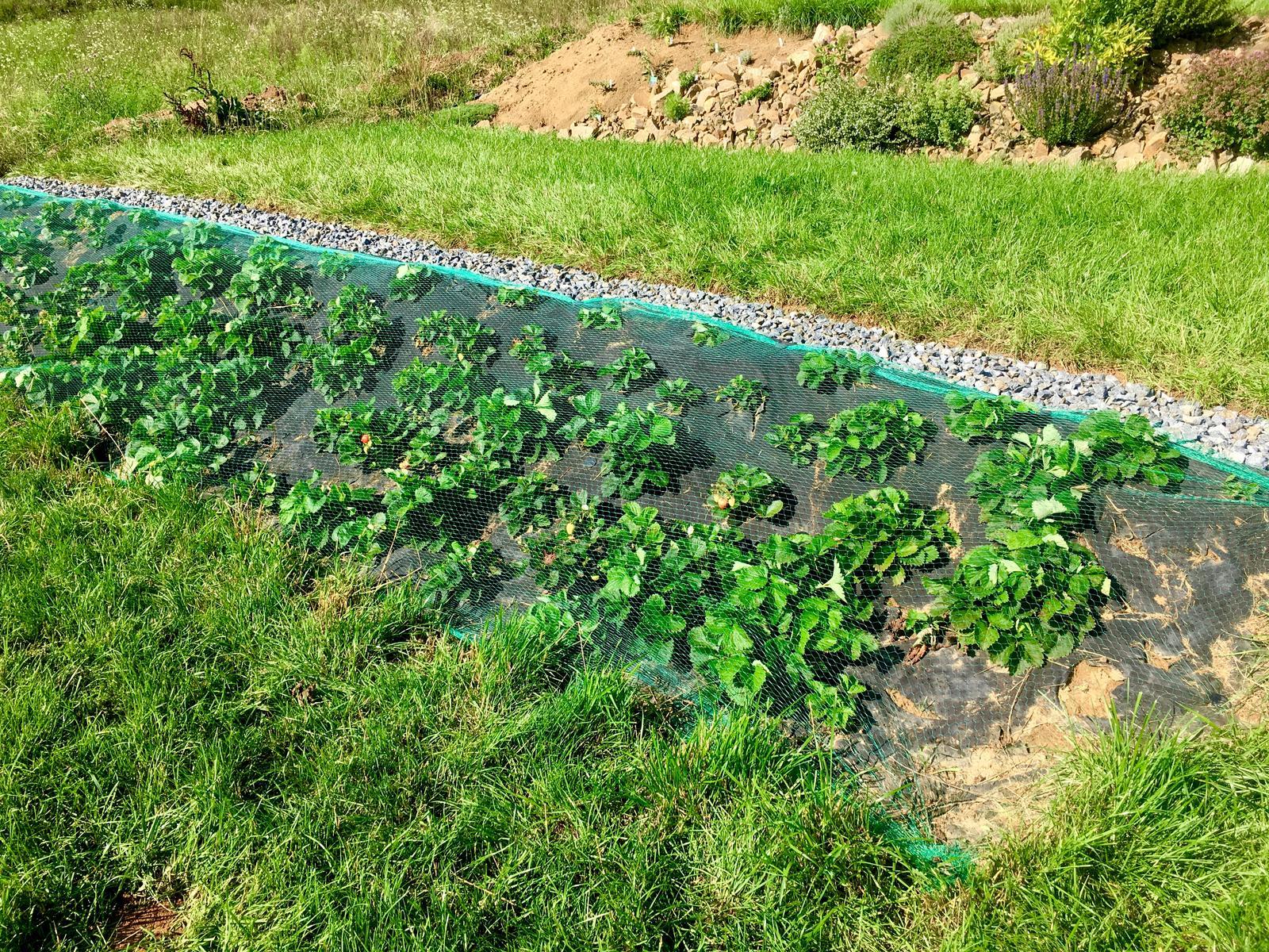 Skřítčí zahrada 2015 - 2020 - Srpen 2019 - ještě mi  zbývá udělat příkop se štěrkem pod jahodami a bude to paráda (a další dvě terasy nad i pod) ... v pozadí rozkutěná bylinková skalka, dodělávám ji postupně, jak se mi povede vykopat kameny