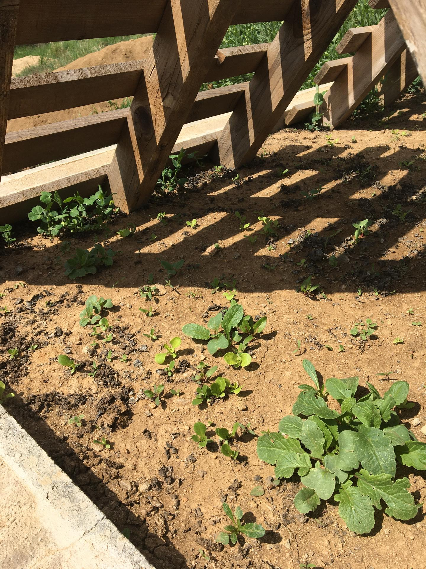 Skřítčí zahrada 2015 - 2020 - Duben 2020 - řádky zeleniny vzaly za své, když se záhonem po zasetí proplazily děti, něco ale roste