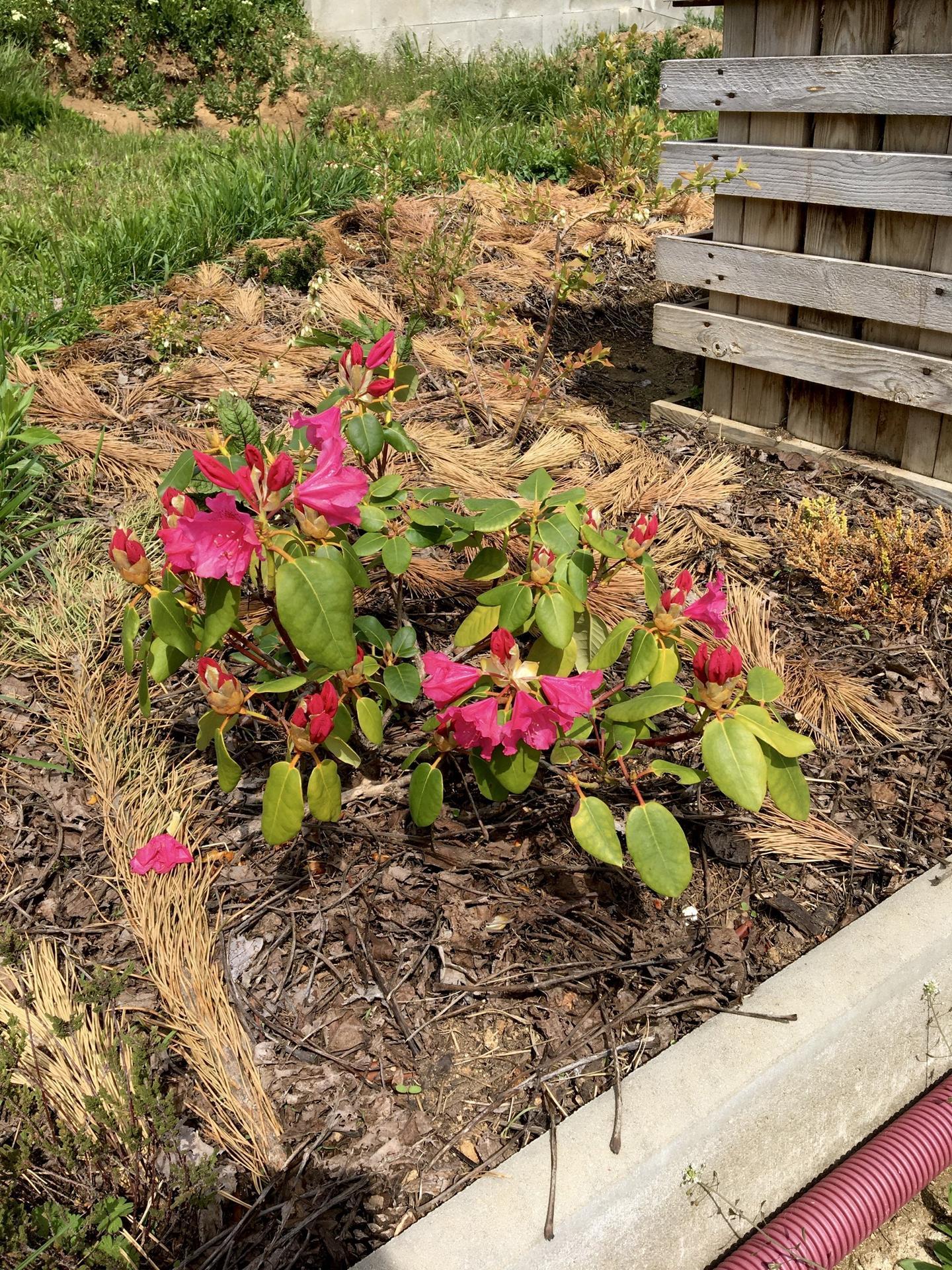 Skřítčí zahrada 2015 - 2020 - Květen 2020 - rododendron i letos v plném květu