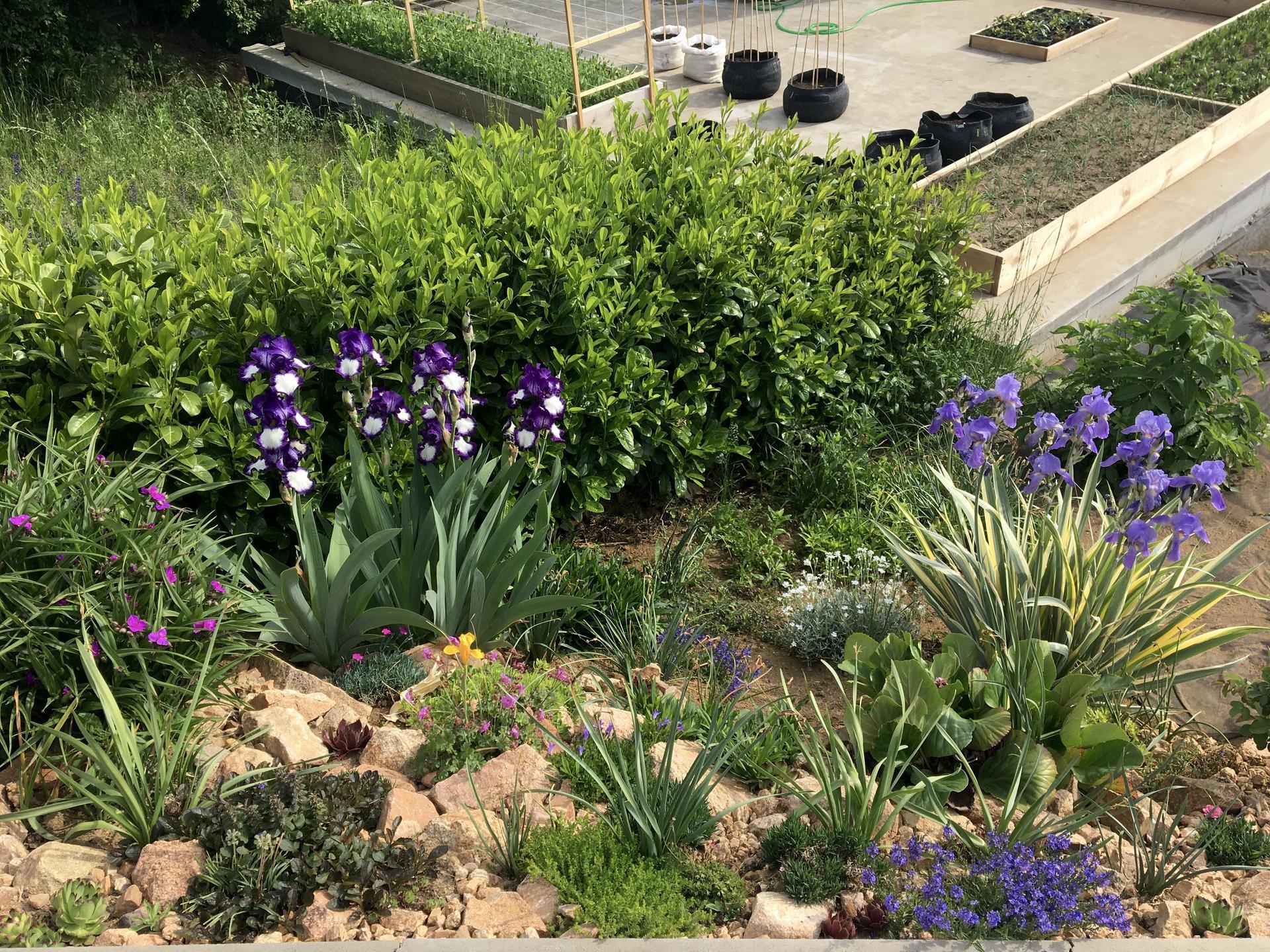Skřítčí zahrada 2015 - 2020 - Květen 2020 - začínám být fanynkou kosatců, daří se jim tu a srnky květy nežerou