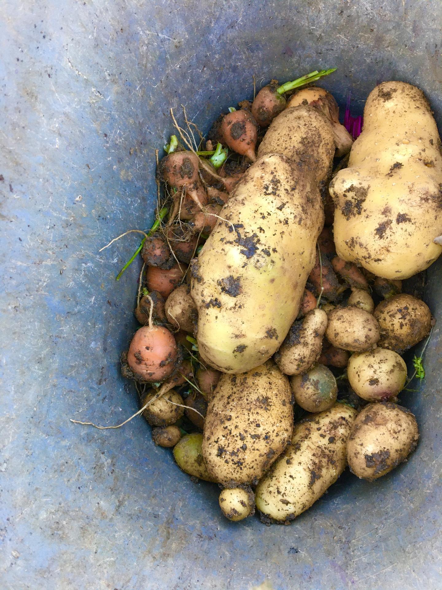 Fáze druhá ... zahrada - Říjen 2020 - sklidila jsem brambory, mrkve a pár řepových zakrslin, no, příští rok ale červenou řepu zkusím zas